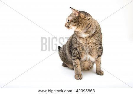 Standing Thai Fat Cat