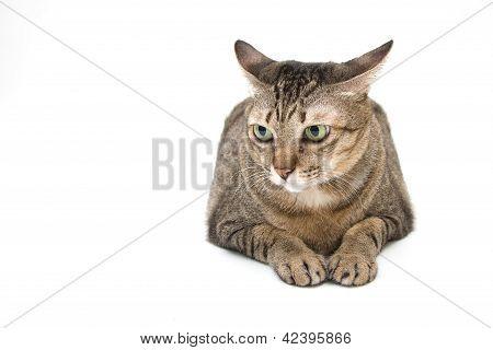 Thai Cat, Curious Face