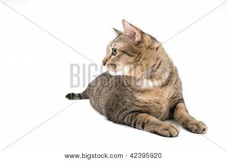 Thai Cat Lay On The Floor, Side Face