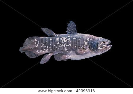 Living Fossil Fish, Coelacanth.
