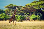 Single giraffe on savanna. Safari in Amboseli, Kenya, Africa