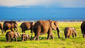 stock photo of kilimanjaro  - Elephants family and herd on African savanna - JPG
