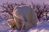 picture of polar bears  - Polar bear with her cubs in Canadian Arctic