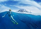 picture of cebu  - Young lady snorkeling in tropical sea with gigantic whale shark  - JPG