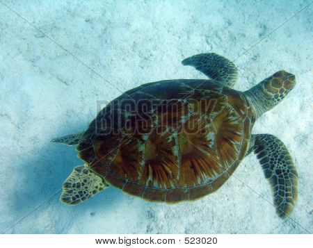 Swim Turtle 5