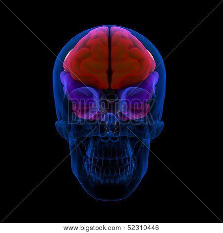 human brain-cerebrum