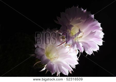 Flowers Of The Cactus
