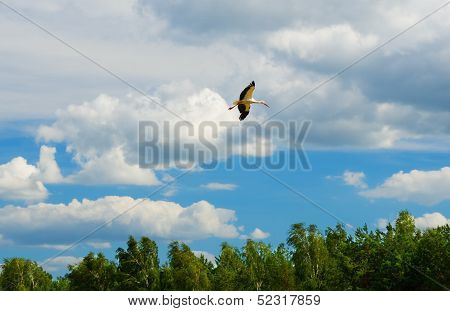 Stork Circling Over The Native Forest Before He Fly Away To Warm Countries