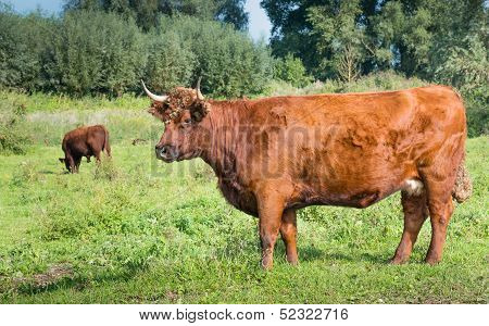 Red Cow In The Foreground And A Grazing Red Bull In The Background