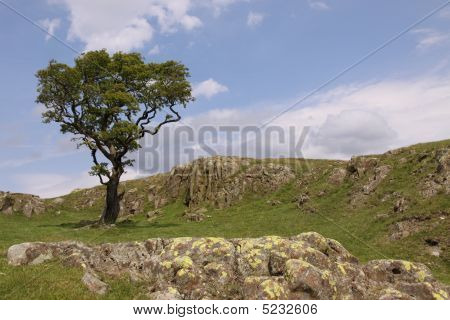 Tree On Hill , Drystone Wall And Sky in the Lake District