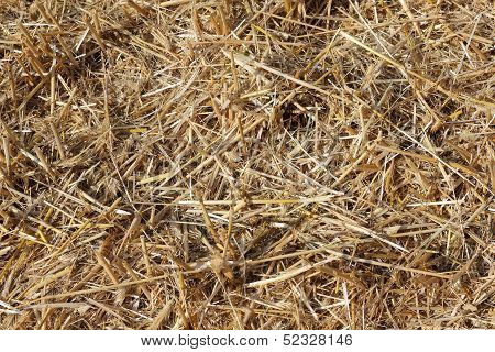 Stubble on a harvested cornfield