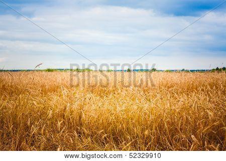 Golden Barley Ears