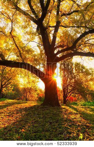Yellow Oak Tree And Natural Sun Beams