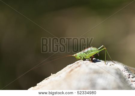 Tender cricket in ovulation