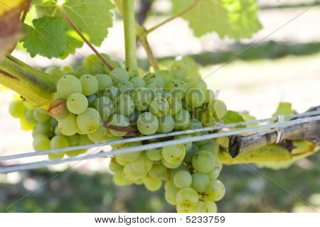 White Grapes In Marlborough, New Zealand