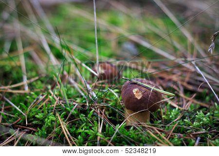 Two boletus mushrooms