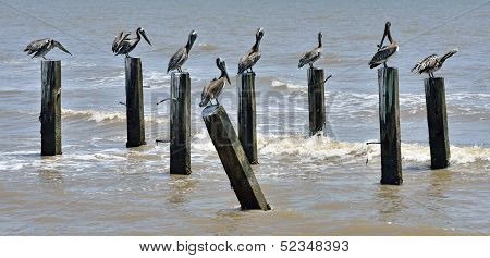 Brown pelicans on remains of jetty