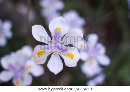 Single Irish Soft Flower Background