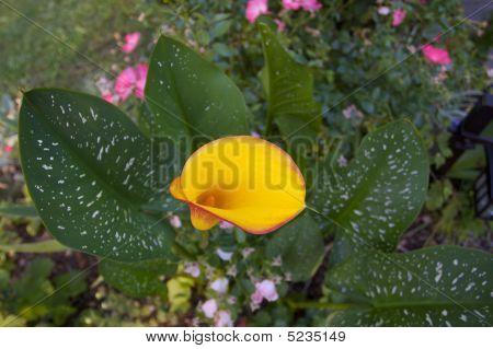 Variagate Calla Lily