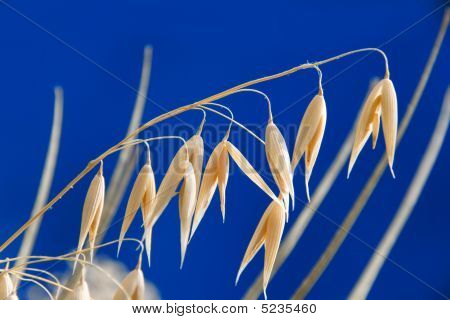 Oats Macro View On Blue Background
