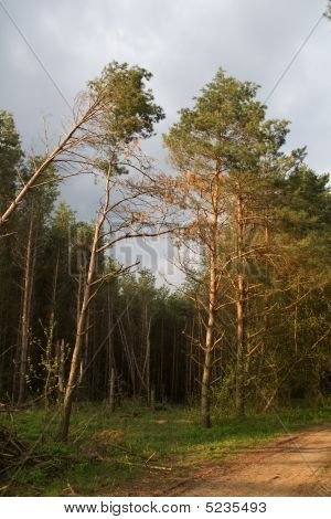 Pine Tree Groove With Wind-fallen Trees In Center