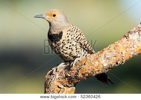 Northern Flicker, Woodpecker. Oregon, US