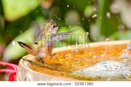 Rufous Hummingbird dancing in the bird bath