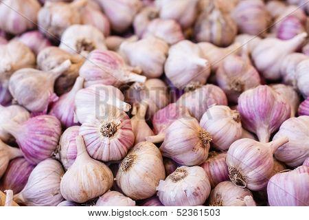 White Garlic Crop. Background