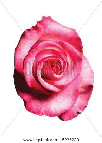 A Pink Rose. Flower