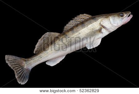 Walleye (pike-perch) lying on concrete floor  isolated with clipping path