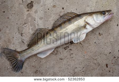 Walleye (pike-perch) lying on concrete floor