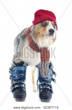 Australian Shepherd And Ski Shoes