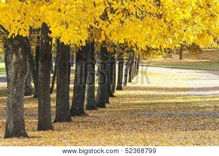 Many Trees Grow In Row At Autumn