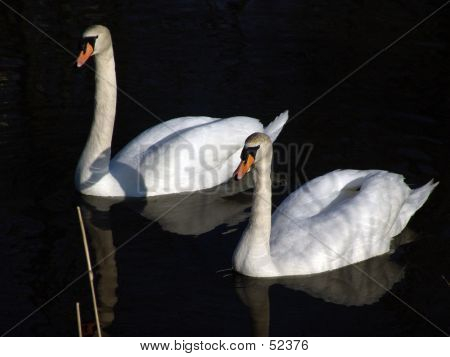 Two Swans Floating