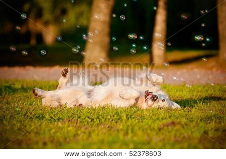 golden retriever rolling on the grass