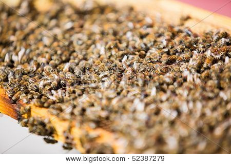 Selective focus of honeybees swarming on comb