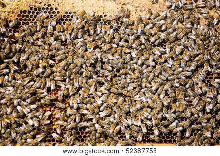 Detail of bees swarming on a honeycomb
