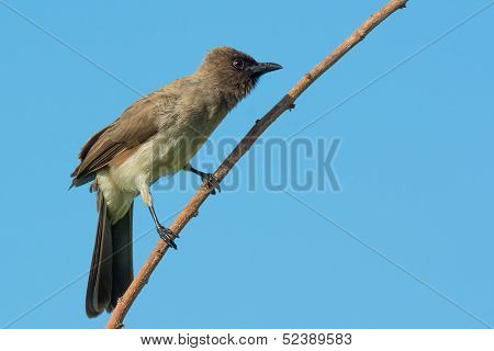 Pycnonotus Barbatus - Common Bulbul On A Branch