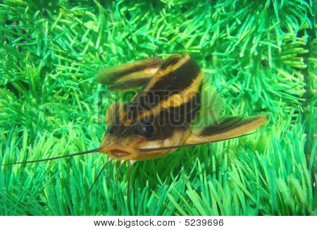 Catfish Striped