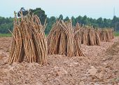 pic of cassava  - preparing cassava  on plantation use for agriculture industry - JPG