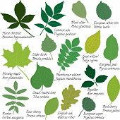 stock photo of elm  - Collection of different leaves isolated on white - JPG