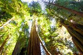 stock photo of redwood forest  - Looking up into a grove of old growth majestic redwood trees bathed in sunlight - JPG