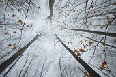 picture of eerie  - Trees reaching up in a forest in autumn with colorful leaves and fog - JPG