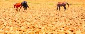 stock photo of horse plowing  - Three Horses Walking On Freshly Plowed Field Ready For Cultivation - JPG