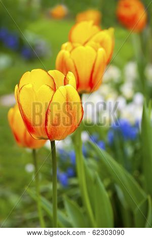 Beautiful tulips in flowering in the home spring garden.