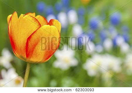 Dreamly soft spring garden with a beautiful red and yellow tulip in the foreground and white daffodils and blue muscari in the background.