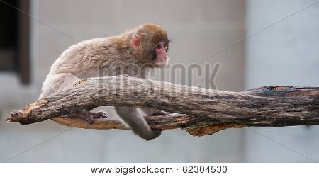 Macaque (snow) Monkey's