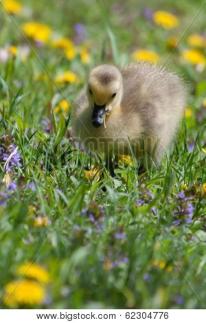 Canadian Goose Gosling Resting And Eating