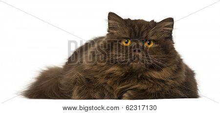 British Longhair lying and looking away