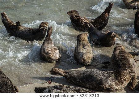 Sea Lions in the Ocean